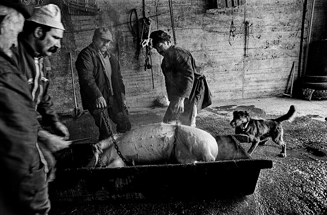 Queyras, hiver, cochon